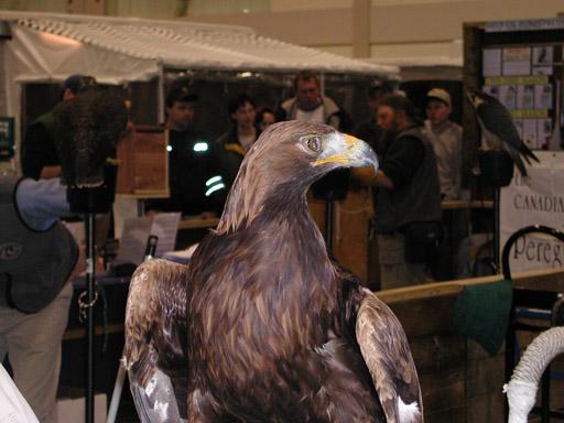 golden eagle wallpaper. Golden Eagle Front shot of the